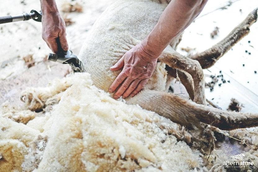 Tonte de moutons Alternature