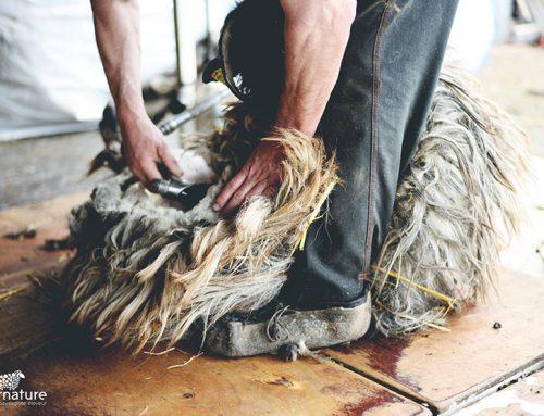 Reportage photo de la tonte des moutons d'Alternature