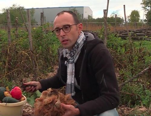 Les vertus insoupçonnées de la laine en agriculture